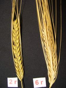 malt av korn